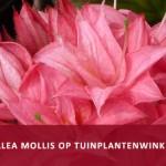 150403-tuinplantenwinkel-klik-hier-voor-azalea-mol